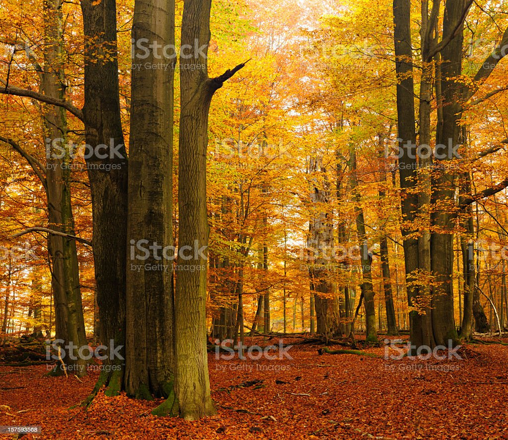 Old Beech Trees in Autumn Forest royalty-free stock photo