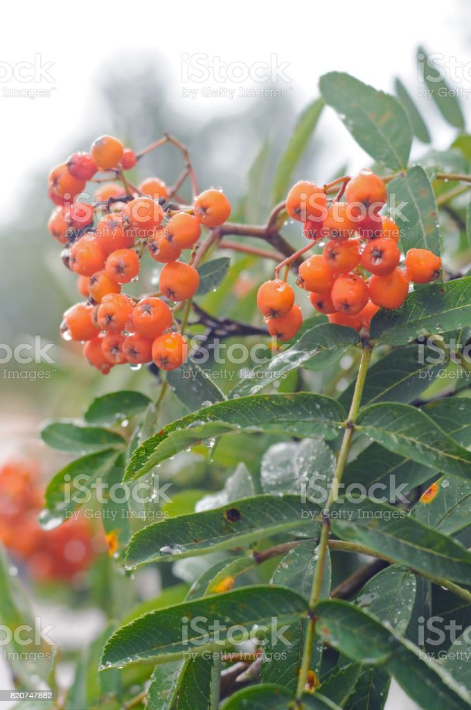 Old berry bush Sweden stock photo