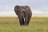 Old big elephant. NgoroNgoro Crater, Tanzania