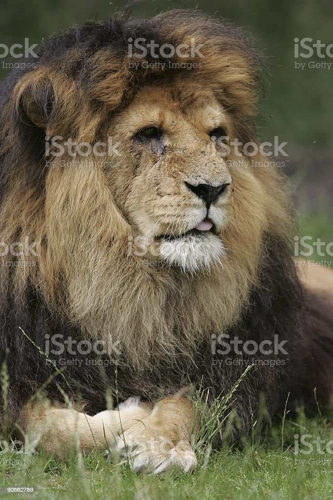 Old big lion royalty-free stock photo