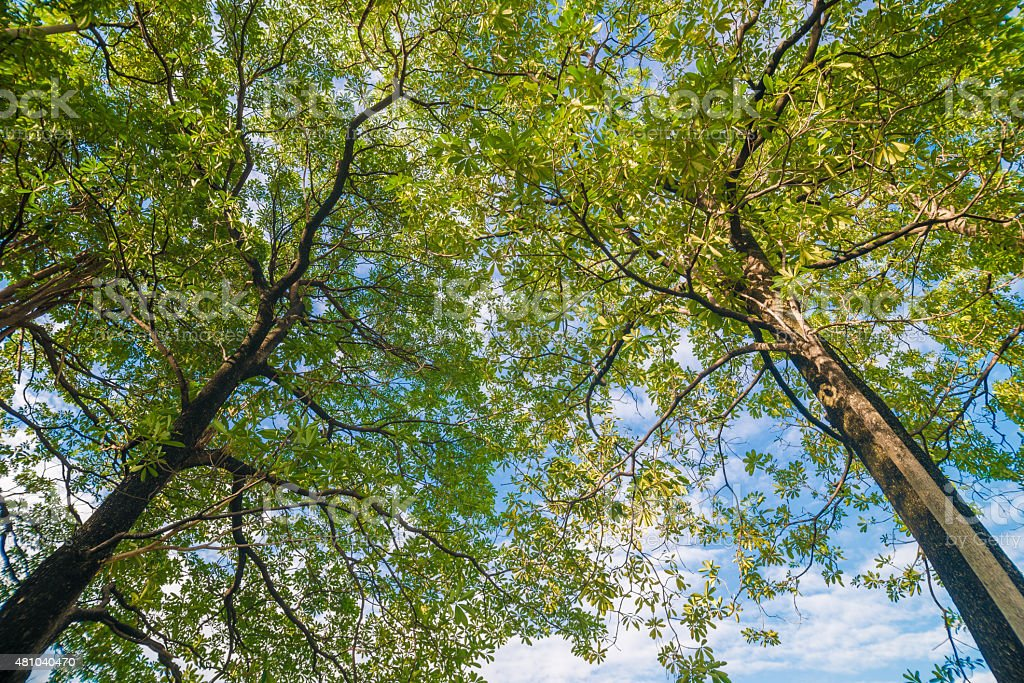 Old big tree in park with blue sky stock photo