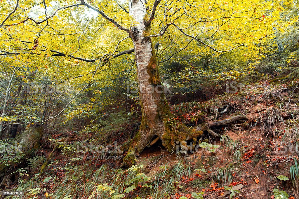 Old birch tree in a autumn forest stock photo