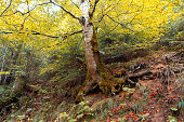 Old birch tree in a autumn forest