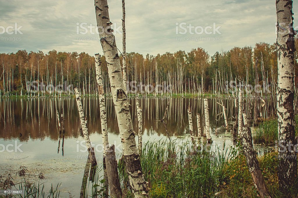 Old birch tree in lake at fall forest stock photo