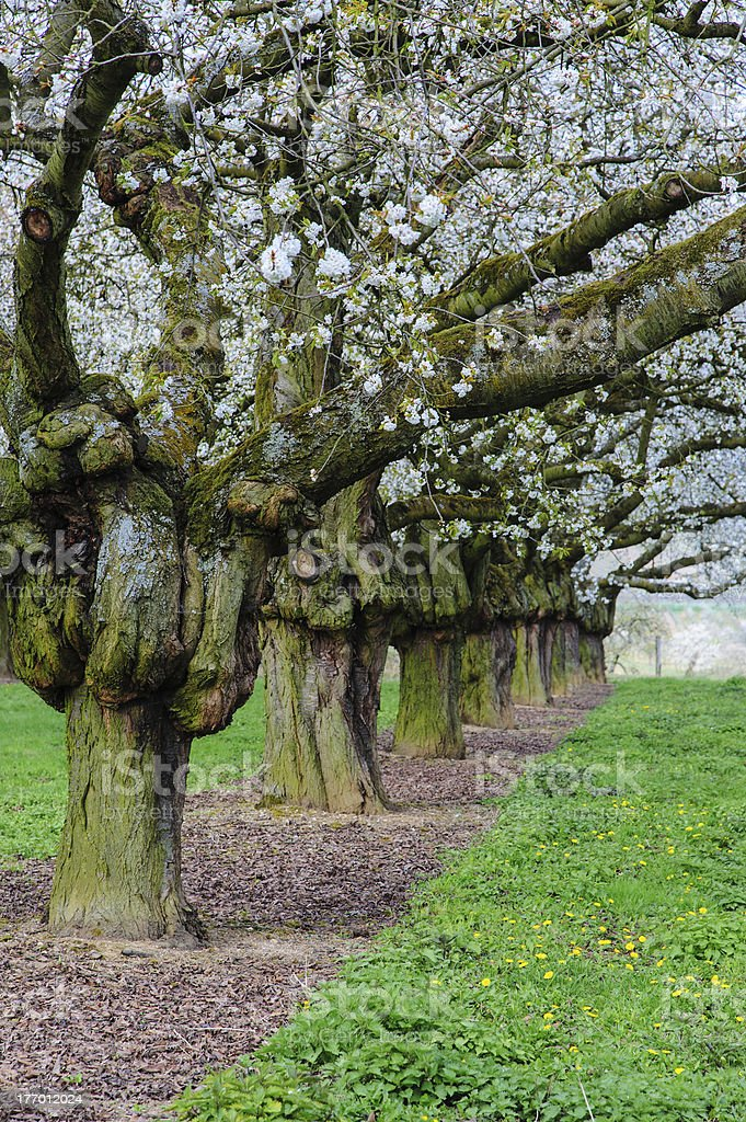 Old blooming cherry trees stock photo
