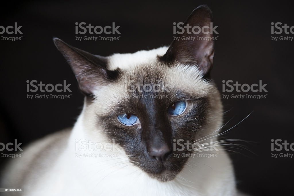 Old Blue Eyes Series royalty-free stock photo
