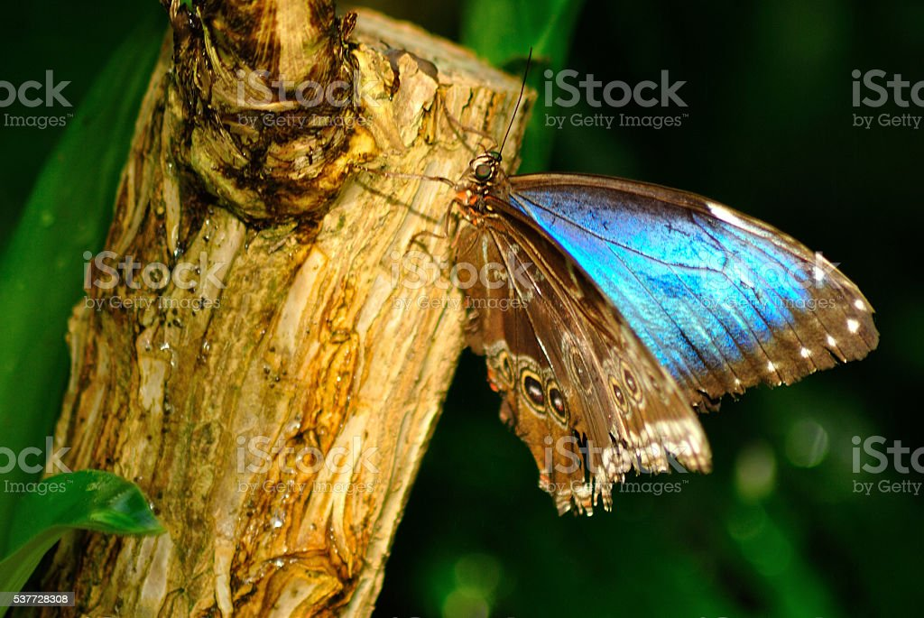Old Blue morpho butterfly almost closed wings on the tree stock photo