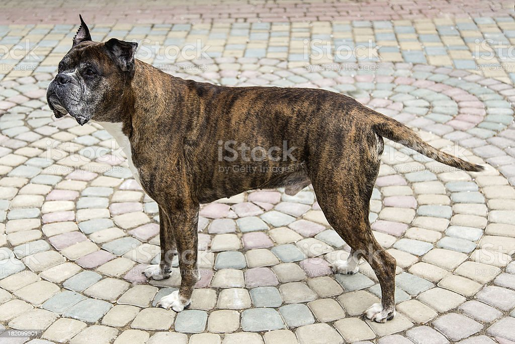 old boxer dog royalty-free stock photo