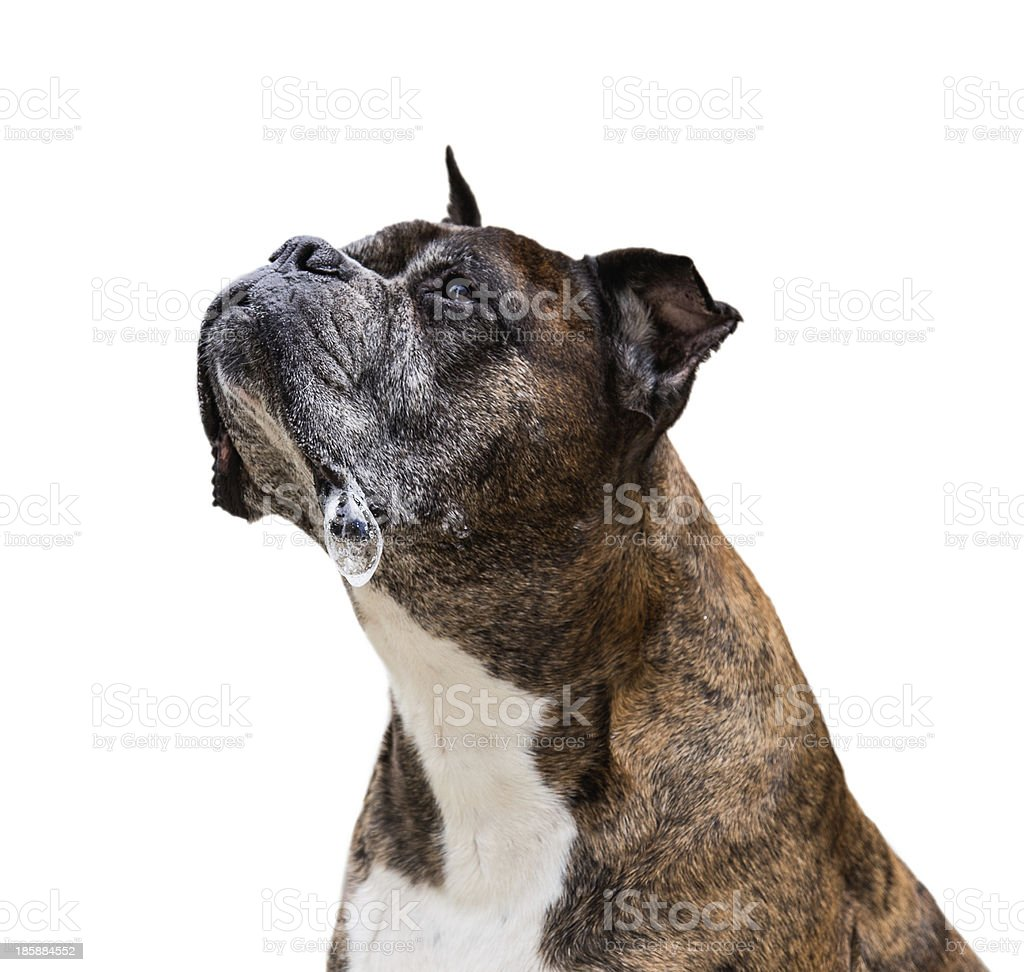 old boxer dog royalty-free stock photo