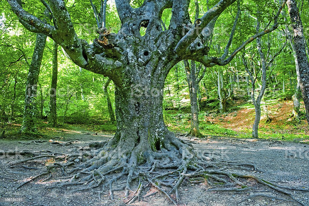 Old branchy evergreen beech forest. royalty-free stock photo