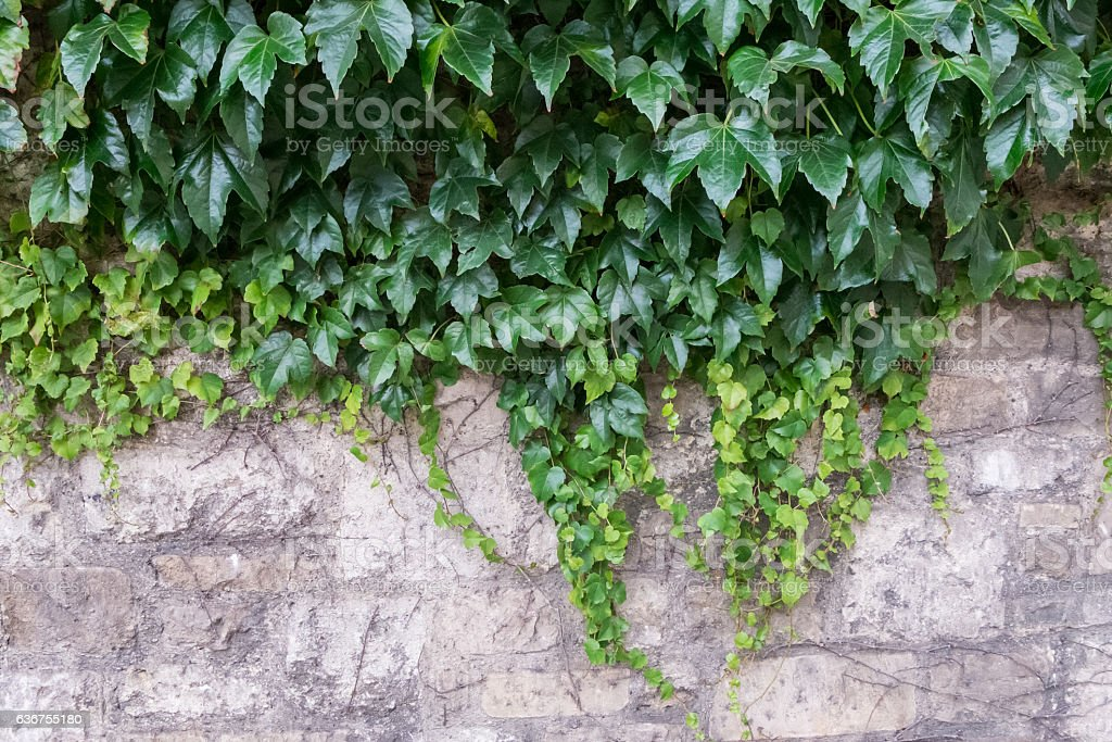 Old Brick Wall Covered by Green Plant stock photo