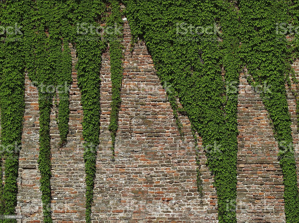 old brick wall covered with vines royalty-free stock photo