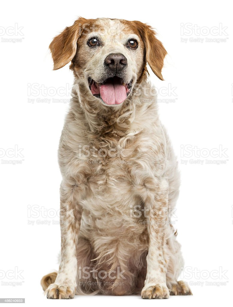 Old Brittany dog with eye cysts, panting, 12 years stock photo