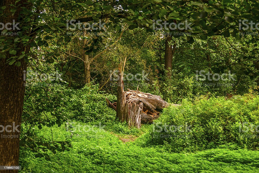 Old broken and splintered tree royalty-free stock photo