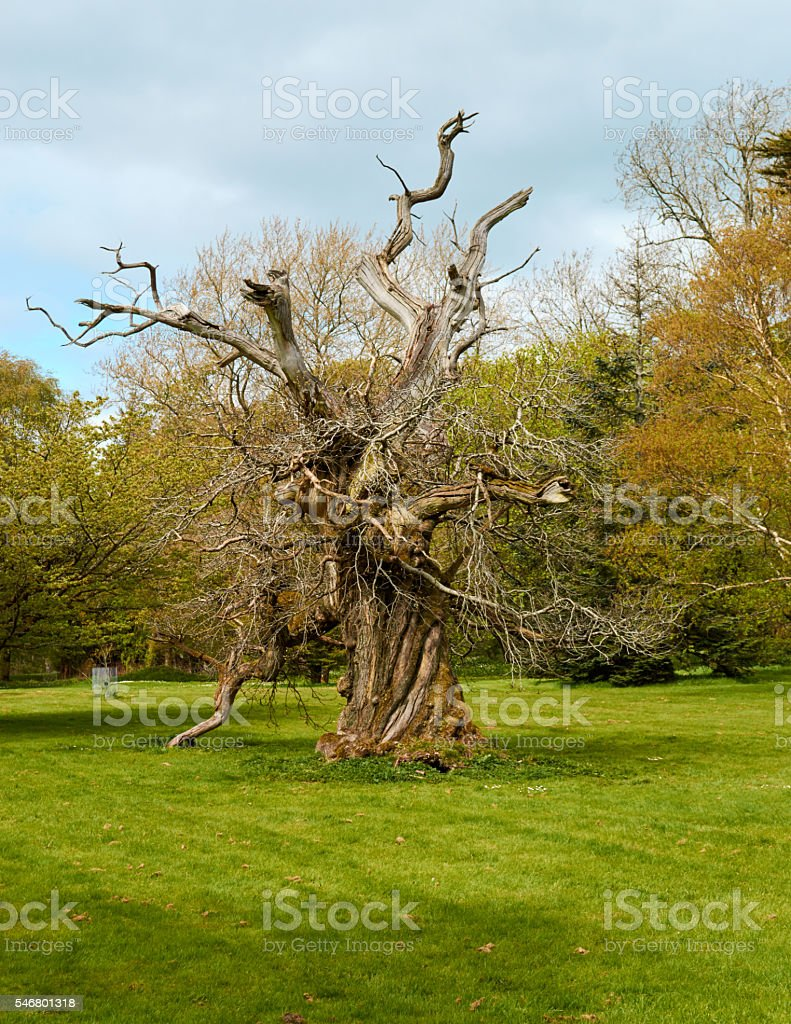 old broken dried tree stock photo