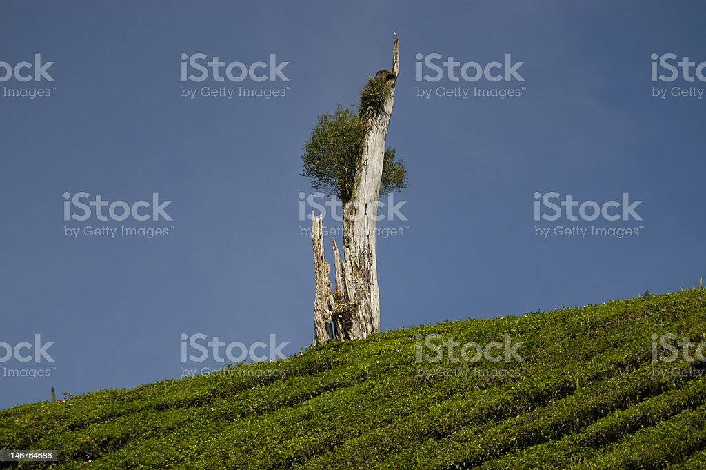 old broken tree on hill royalty-free stock photo