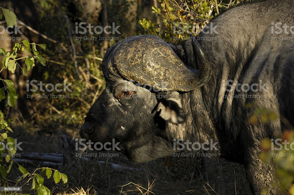 Old buffalo stock photo