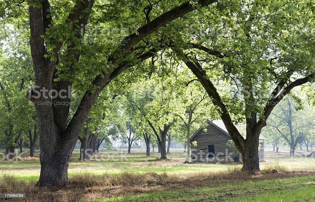 Old Cabin in Pecan Grove stock photo