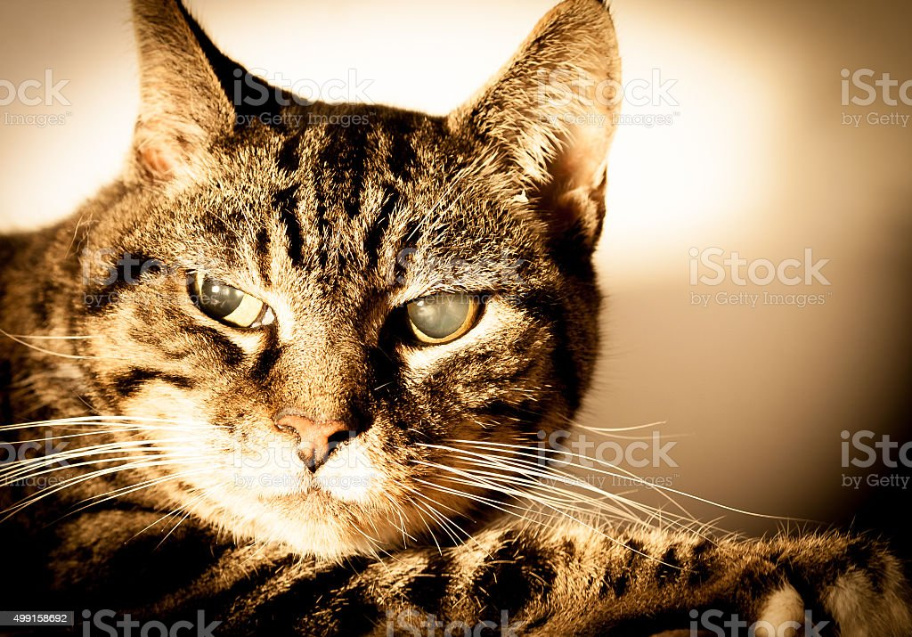 Old Cat With Cataracts stock photo