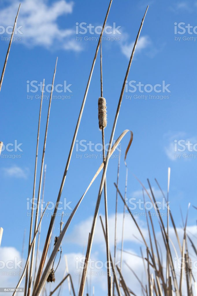 Old Cattail against the Blue Sky stock photo