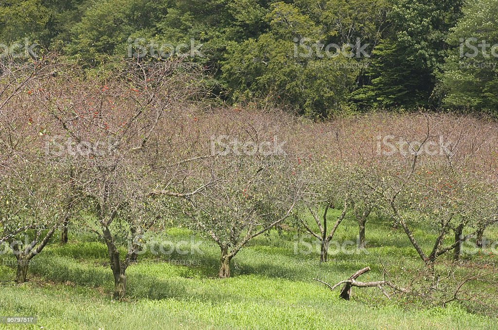 Old Cherry Orchard royalty-free stock photo