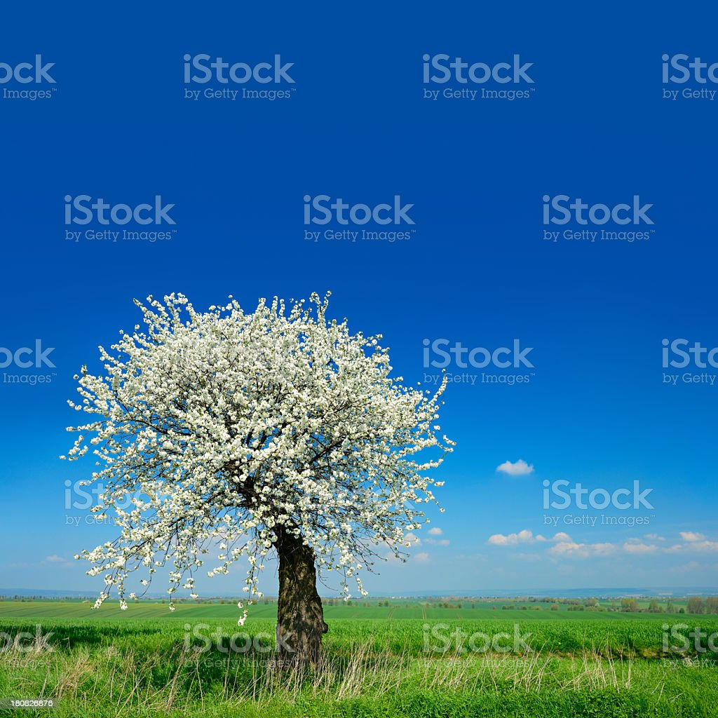 Old Cherry Tree Blooming on Meadow in Spring Landscape royalty-free stock photo