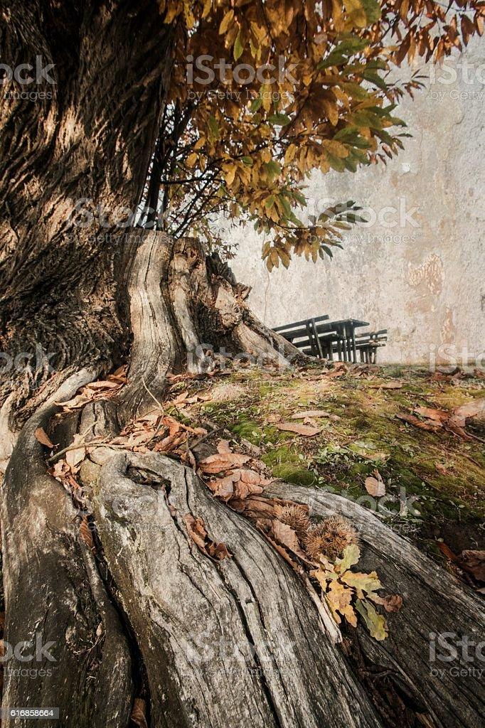 Old chestnut tree stock photo