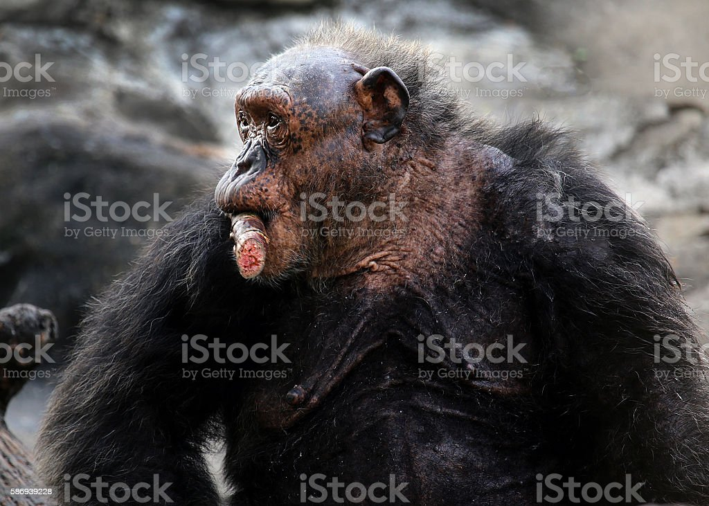 old chimpanzee is having a sugar cane stock photo