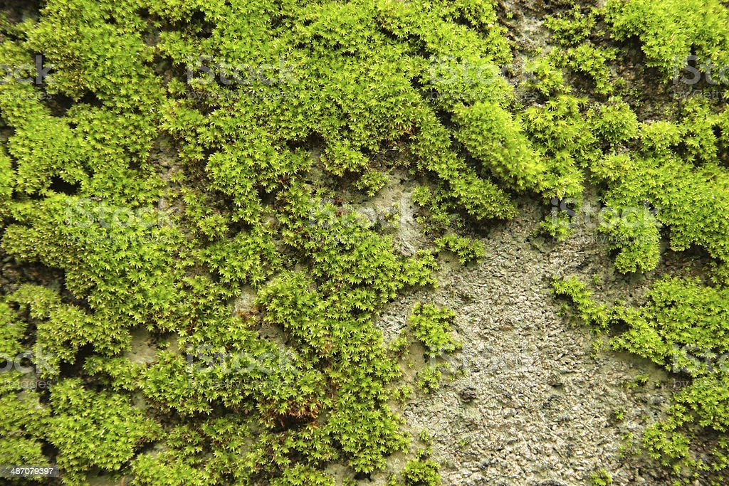 Old concrete Brick Wall with Moss stock photo