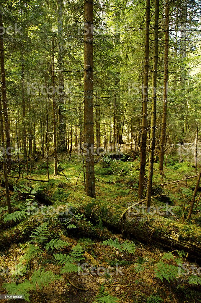 Old Coniferous Forest stock photo