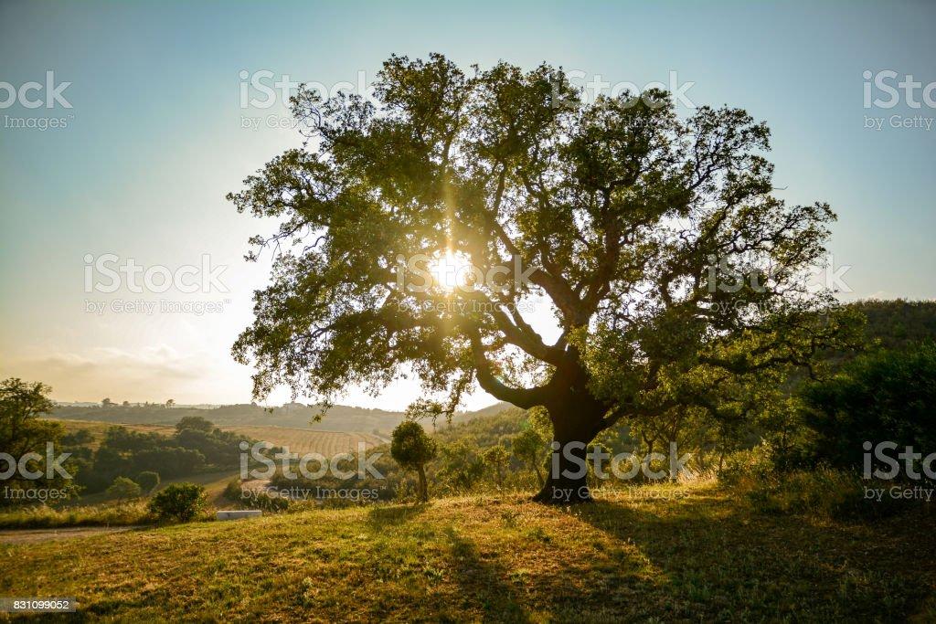 Old Cork oak tree (Quercus suber) in evening sun, Alentejo Portugal Europe stock photo