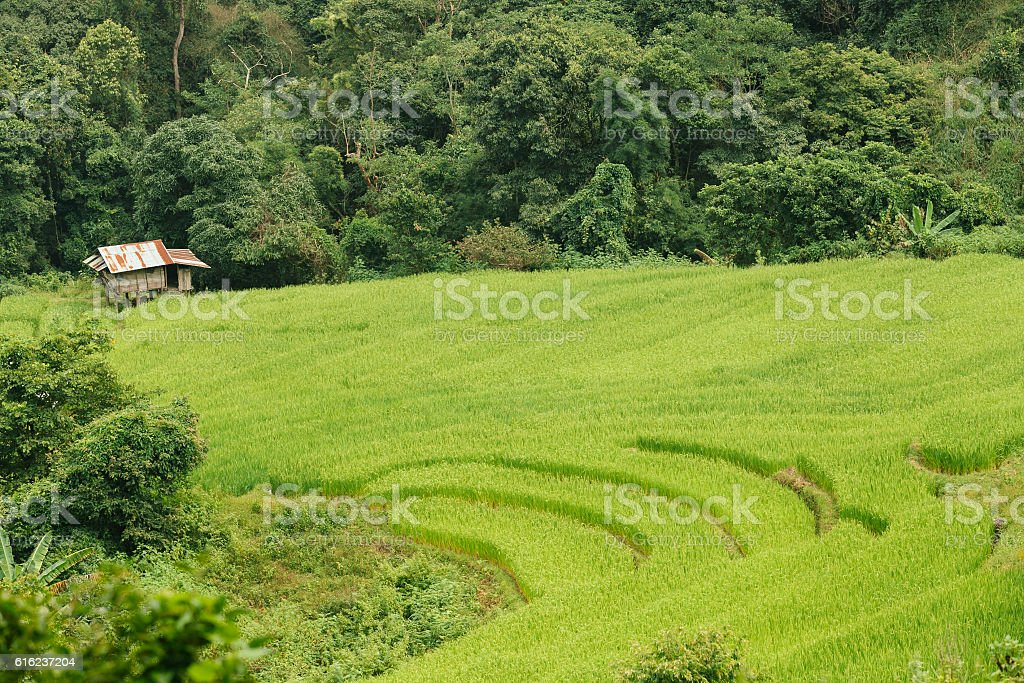 Old Cottage and green terraced rice field. stock photo