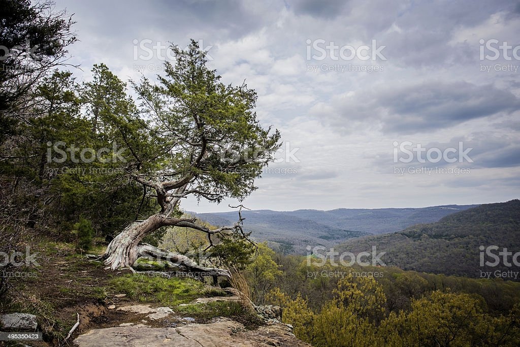Old Cypress on the top of the mountain stock photo