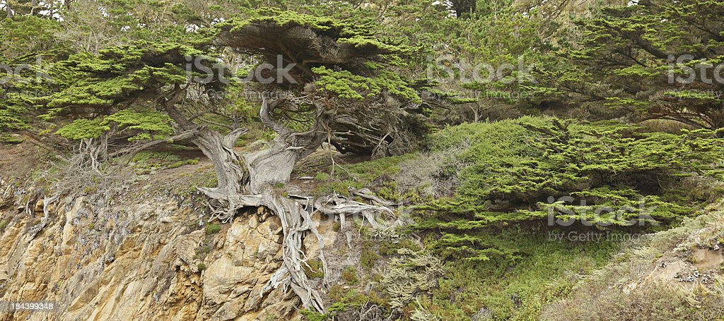 Old Cypress Tree stock photo