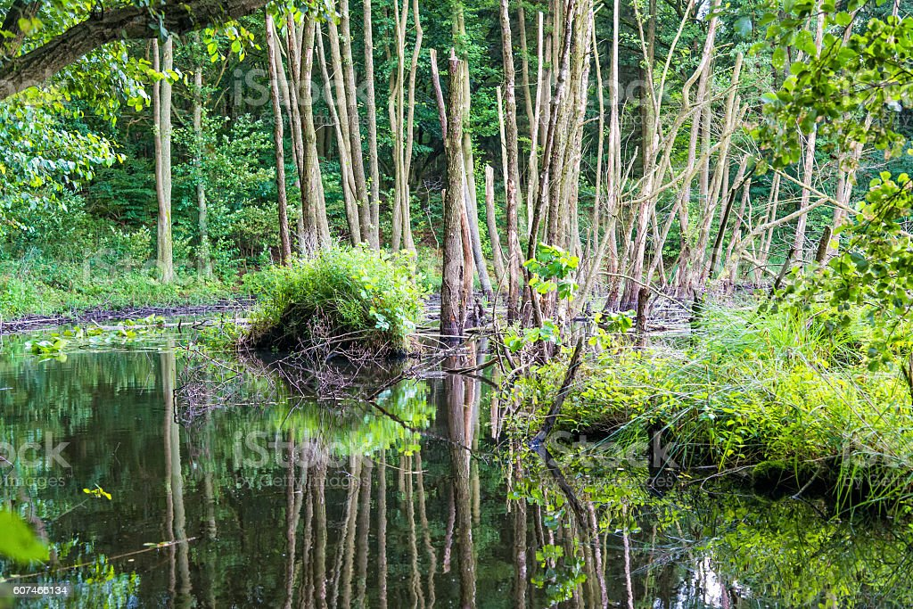 old dead trees in a lake in forst - swamp stock photo