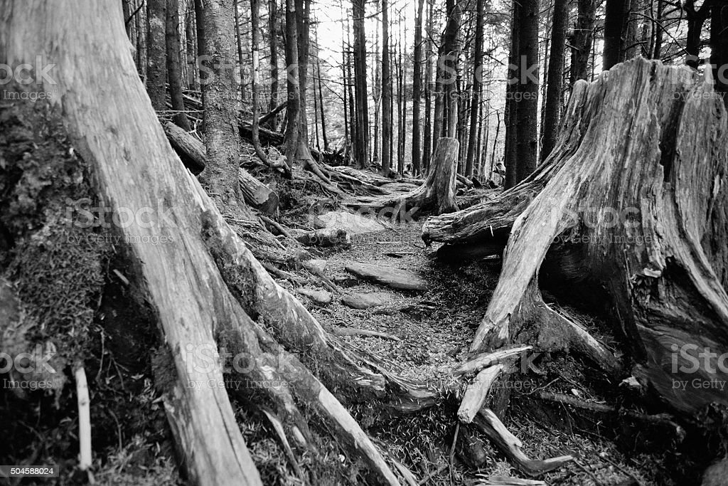 Old decaying spruce pine forest damaged by acid rain stock photo