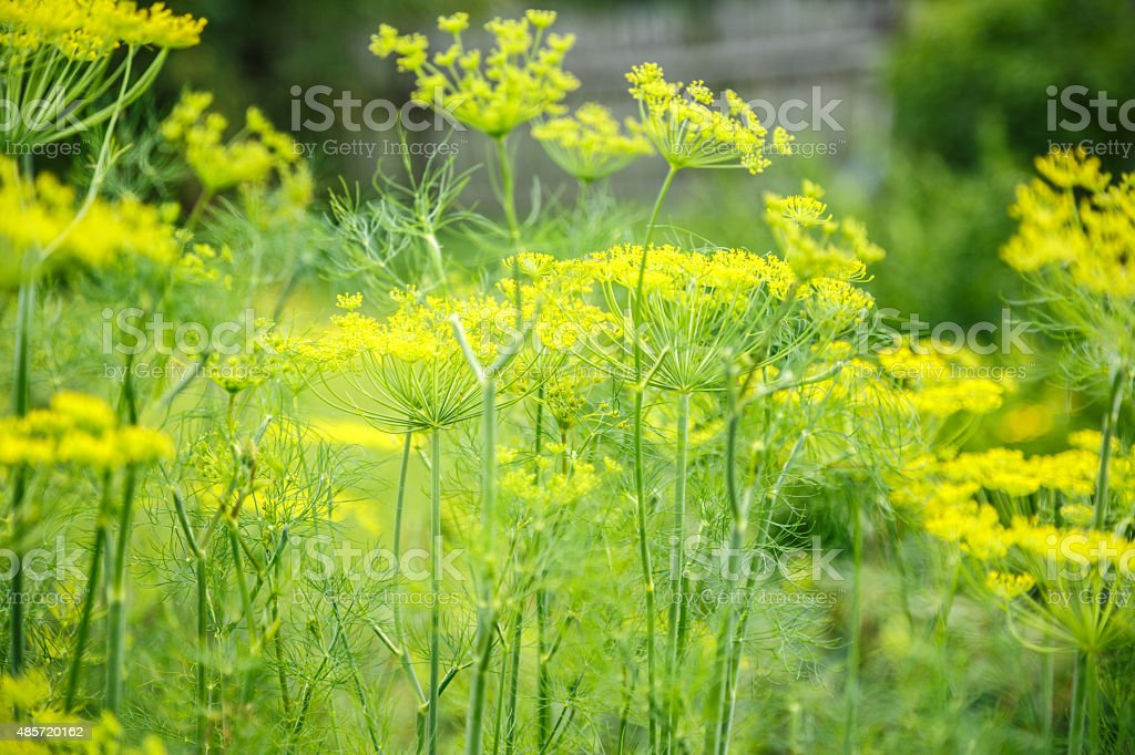 Old dill grows in the garden stock photo