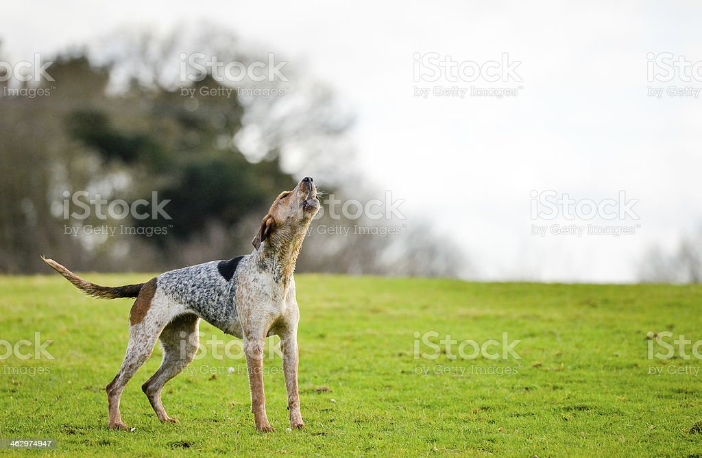 Old dog stands on a green field while howling stock photo