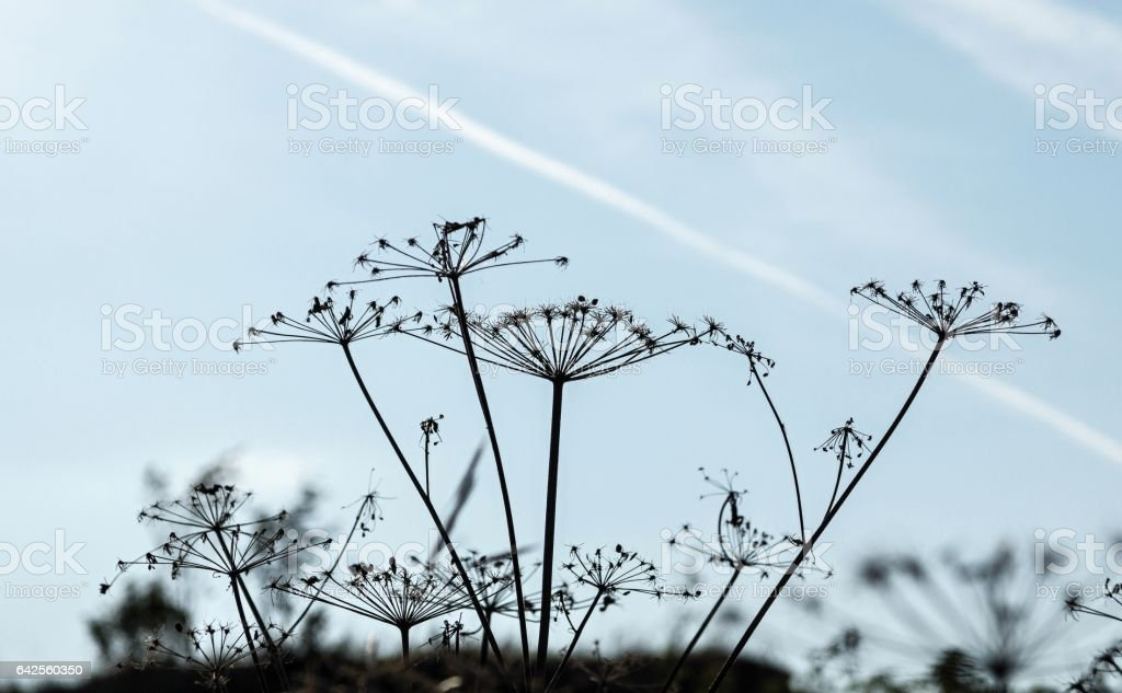 old dry plants against the blue sky stock photo