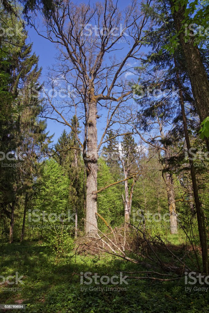 Old dry Tree in Bialowieza National Park in Poland stock photo