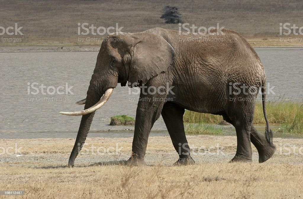 Old elephant male royalty-free stock photo