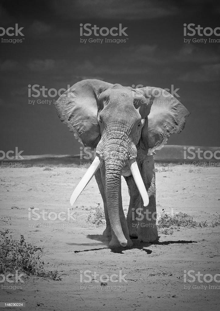 old elephant stock photo