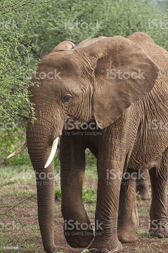Old elephant royalty-free stock photo