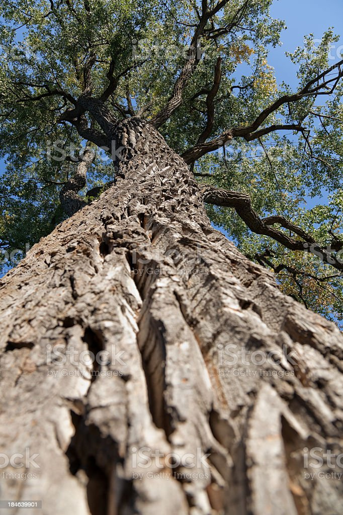 Old elm tree from below royalty-free stock photo