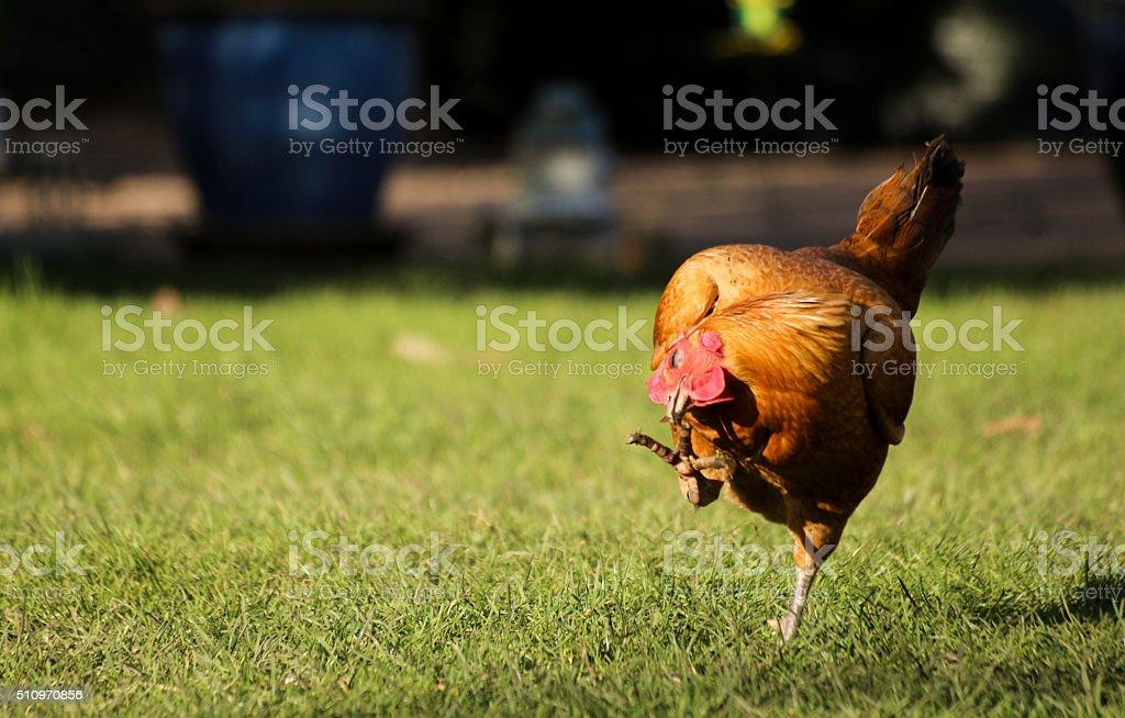 Old English Bantam Chicken stock photo
