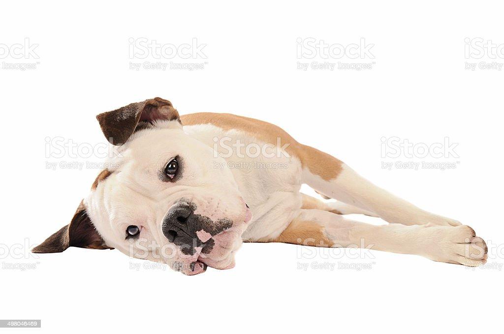 Old English Bulldog lying on a white background stock photo