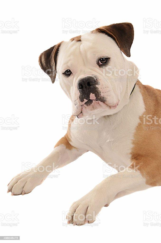 Old English Bulldog Portrait stock photo