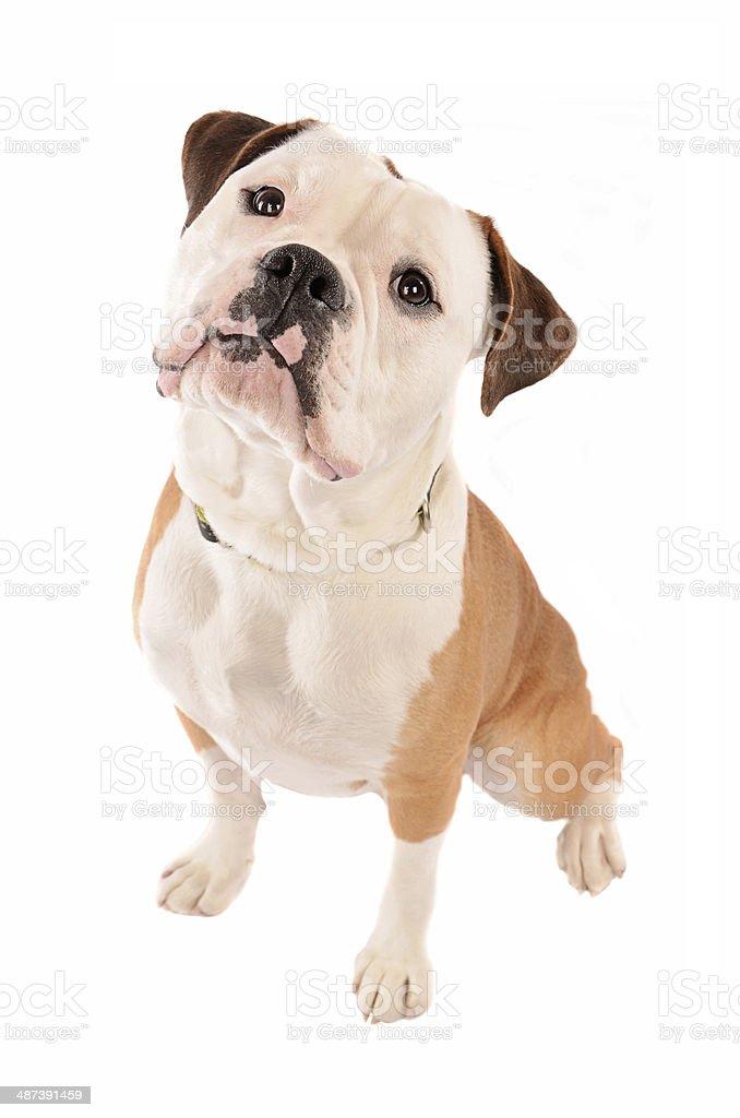 Old English Bulldog Sitting on White Background stock photo