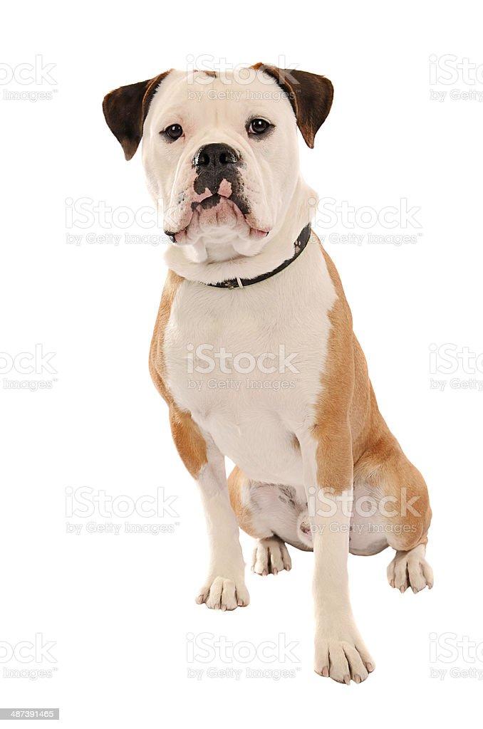 Old English Bulldog Sitting on White stock photo