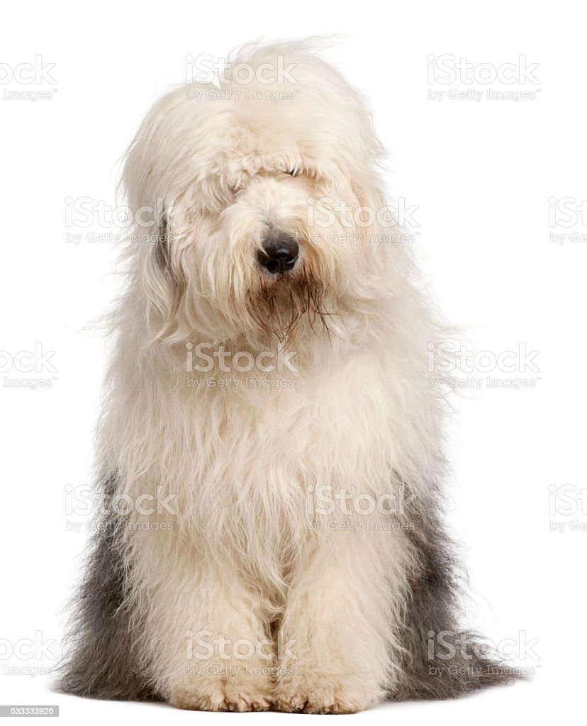 Old English Sheepdog, 2 and a half years old, sitting stock photo